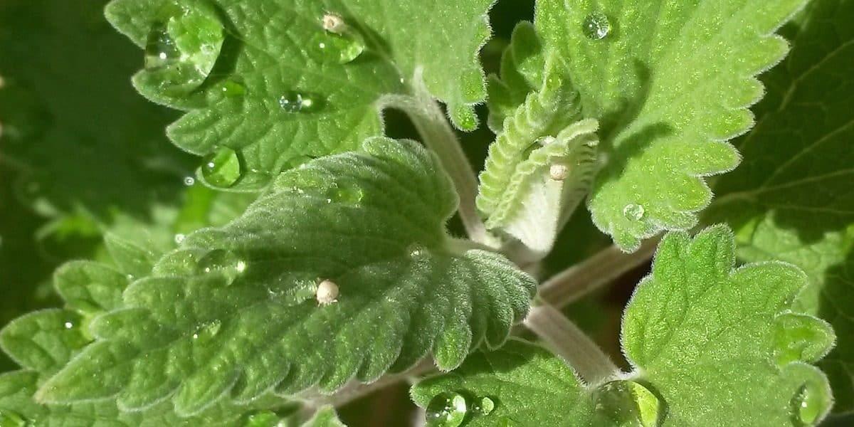 A catnip é uma erva parecida com a hortelã.