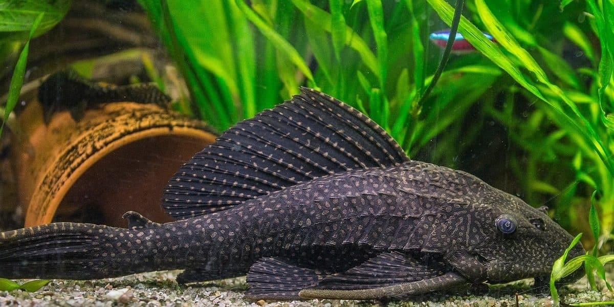 Os cascudos possuem uma boca voltada para baixo, e são clássicos peixes de fundo.